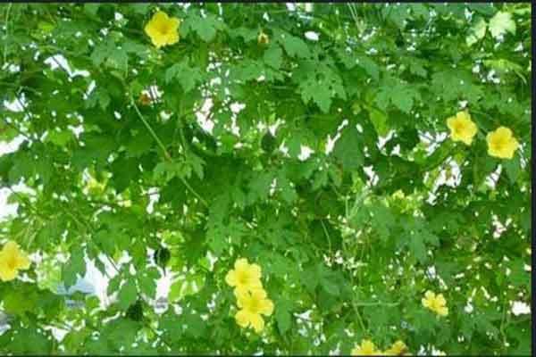 Điều trị bệnh trĩ sau sinh bằng hoa mướp đắng