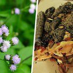 Hoa ngũ sắc – Thành phần làm nên bài thuốc Đỗ Minh Đường chữa viêm mũi dị ứng